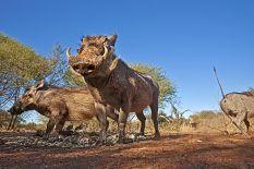 BB-Benny-Rebel-Fotoreise-Suedafrika-Warzenschwein