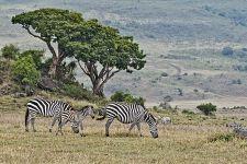BB-Benny-Rebel-Fotoreise-Tansania-Zebra
