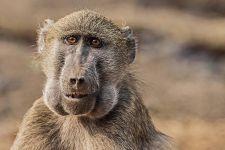 BBAC-Benny-Rebel-Fotoreise-Suedafrika-Pavian