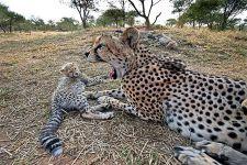 BBLA-Benny-Rebel-Fotoreise-Suedafrika-Gepard