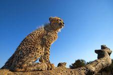 BC-Benny-Rebel-Fotoreise-Suedafrika-Gepard
