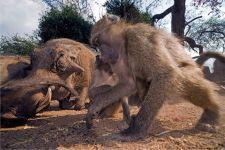 BCA-Benny-Rebel-Fotoreise-Suedafrika-Pavian