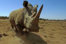 BD-Benny-Rebel-Fotoreise-Suedafrika-Breitmaul-Nashorn
