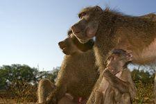 BEA-Benny-Rebel-Fotoreise-Suedafrika-Pavian