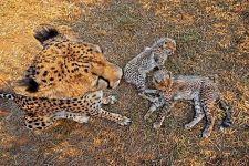 BEC-Benny-Rebel-Fotoreise-Suedafrika-Gepard