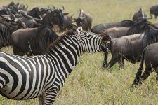 BF-Benny-Rebel-Fotoreise-Tansania-Zebra