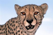BI-Benny-Rebel-Fotoreise-Namibia-Gepard