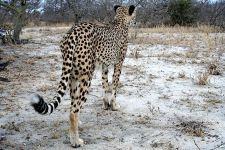 BP-Benny-Rebel-Fotoreise-Suedafrika-Gepard