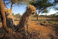 BR-Benny-Rebel-Fotoreise-Suedafrika-Gepard