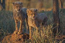 BV-Benny-Rebel-Fotoreise-Suedafrika-Gepard
