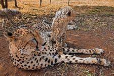 CA-Benny-Rebel-Fotoreise-Suedafrika-Gepard