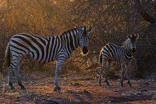 CA-Benny-Rebel-Fotoreise-Suedafrika-Zebra