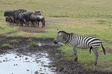 CB-Benny-Rebel-Fotoreise-Tansania-Zebra