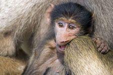 CE-Benny-Rebel-Fotoreise-Suedafrika-Pavian