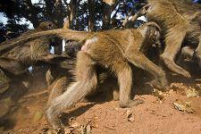 CER-Benny-Rebel-Fotoreise-Suedafrika-Pavian-1