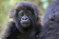 DAF-Benny-Rebel-Fotoreise-Berg-GorillaRuanda