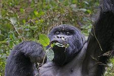 DAH-Benny-Rebel-Fotoreise-Berg-GorillaRuanda