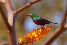 EA-Benny-Rebel-Fotoreise-BindennektarvogelSuedafrika