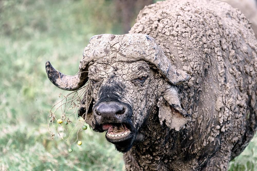 Benny Rebel, Nordkenia, Fotoreise, Büffel, Afrikareise