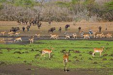 KA-Benny-Rebel-Fotoreise-Swasiland-Impalas