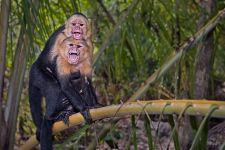 UE-Benny-Rebel-Fotoreise-Costa-Rica-Weiss-schulter-Kapuzineraffe