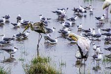 UEAB-Benny-Rebel-Fotoreise-Kenia-Pelikan