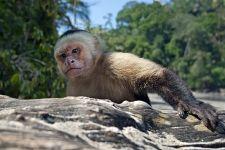 UF-Benny-Rebel-Fotoreise-Costa-Rica-Weiss-schulter-Kapuzineraffe