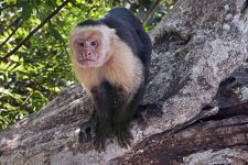UG-Benny-Rebel-Fotoreise-Costa-Rica-Weiss-schulter-Kapuzineraffe