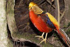 VB-Benny-Rebel-Fotoworkshop-Vogelfotografie-Goldfasan