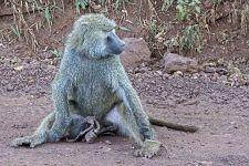 VLA-Benny-Rebel-Fotoreise-Suedafrika-Pavian
