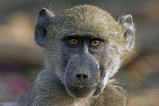 VM-Benny-Rebel-Fotoreise-Suedafrika-Pavian