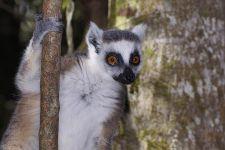 VP-Benny-Rebel-Fotoreise-Lemur