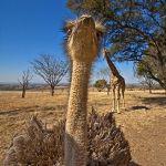 ZHAC-Benny-Rebel-Fotoreise-StraussAfrika