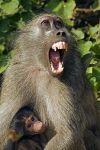 ZHF-Benny-Rebel-Fotoreise-Suedafrika-Pavian
