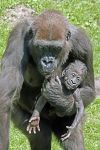 ZHS-Benny-Rebel-Fotoreise-Gorilla