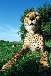 ZI-AF-Benny-Rebel-Fotoreise-Suedafrika-Gepard