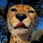 ZI-ZA-Benny-Rebel-Fotoreise-Suedafrika-Gepard