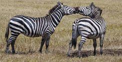 ZPD-Benny-Rebel-Fotoreise-Tansania-Zebra