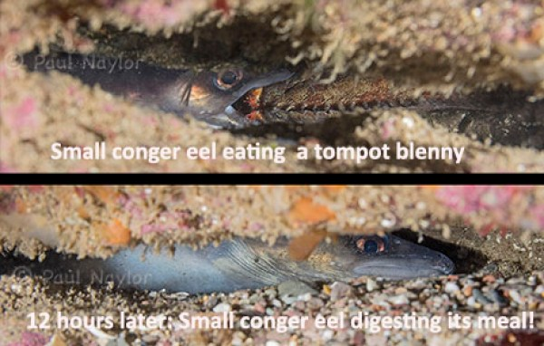 Conger after eating tompot blenny 1605