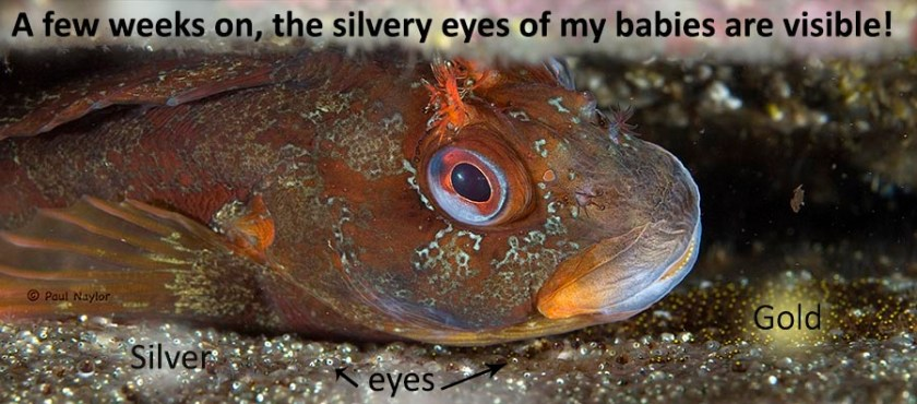 Tompot blenny RL 1308 337 with eggs