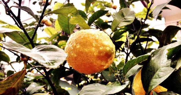 Antalya limonu