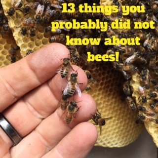 Thirteen things you probably didn't know about bees!