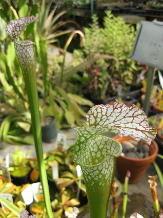 Carnivorous And Venus Fly Trap Plants