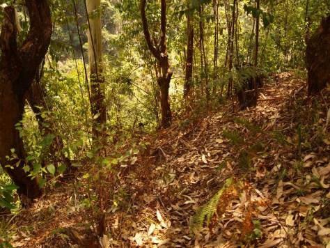 Diese Eucalyptus Art lässt kaum Unterwuchs zu. Ein paar Farne und das war's auch schon.