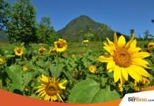 Kebun Bunga Matahari Jogja