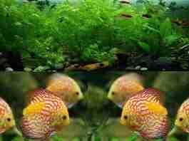 Budidaya Ikan Hias Air Tawar