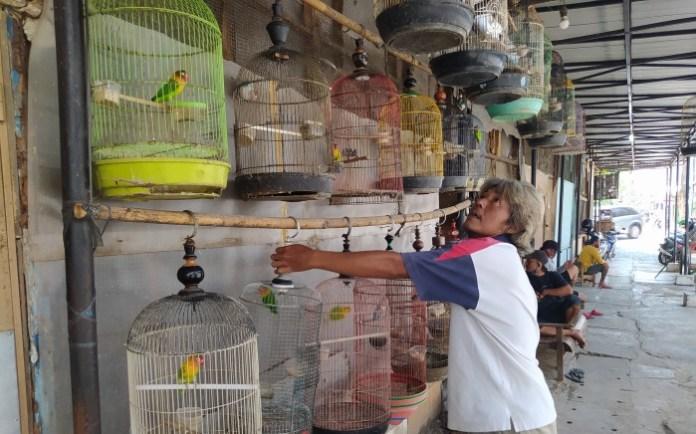 Cara Ternak Love Bird