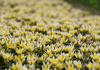 Jangan sembarang petik bunga Edelweiss