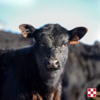 Purina Healthy Calf