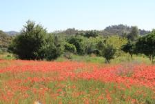 Blütenmeer in der Ost_Algarve